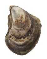 Dodge Cove Oyster